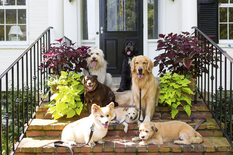 7 dogs on front steps, ©Katy Murray Photography Maryland - Virginia Pet Photographer