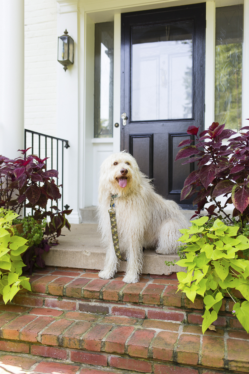 Golden Doodle on front steps, ©Katy Murray Photography Maryland - Virginia Pet Photographer