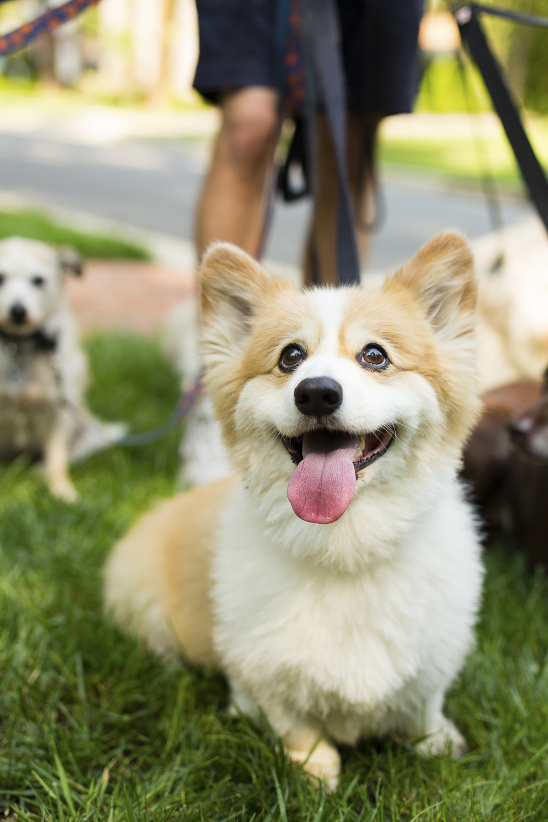 Adorable Corgi | ©Katy Murray Photography | lifestyle dog photography