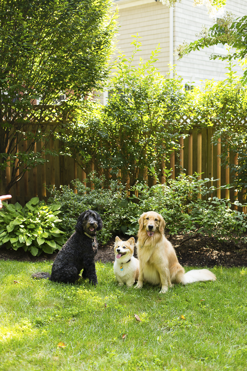on location pet photography, 3 dogs in the back yard , labradoodle, Corgi, Golden Retriever,©Katy Murray Photography | lifestyle dog photography
