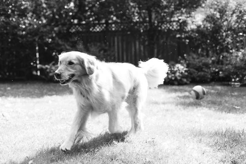 Golden Retriever running in back yard ©Katy Murray Photography | lifestyle dog portraits