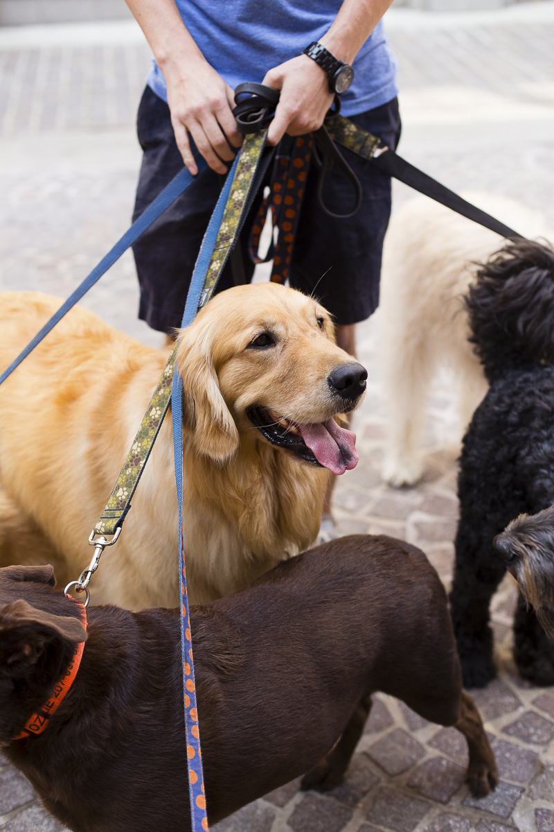 professional dog walker, Golden Retriever | ©Katy Murray Photography | lifestyle dog photography
