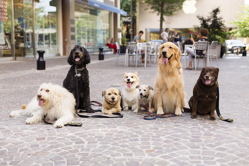 well-trained dogs in shopping center, seven dogs demonstrating stay, ©Katy Murray Photography | lifestyle dog photography