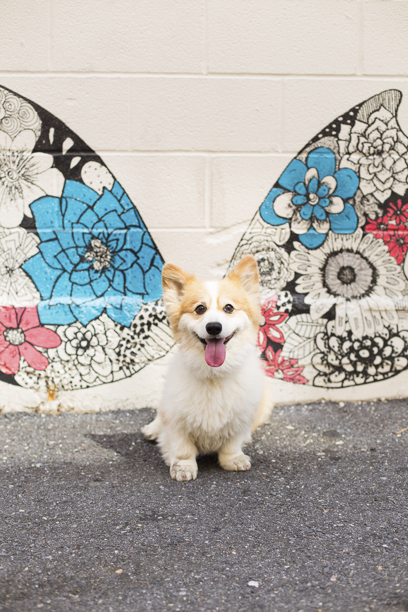 Winged Corgi, dog in front of wings mural, ©Katy Murray Photography | outdoor dog portraits, Arlington pet photography