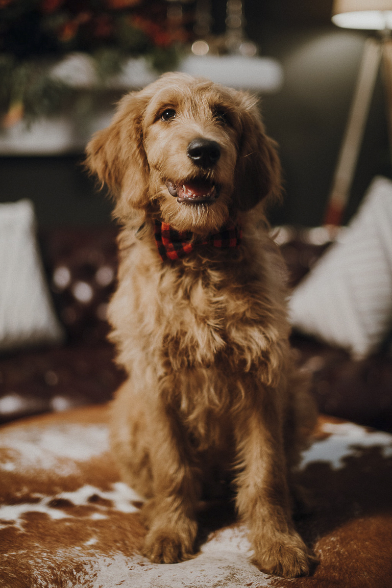 cute golden doodle portraits | Suzuran Photography