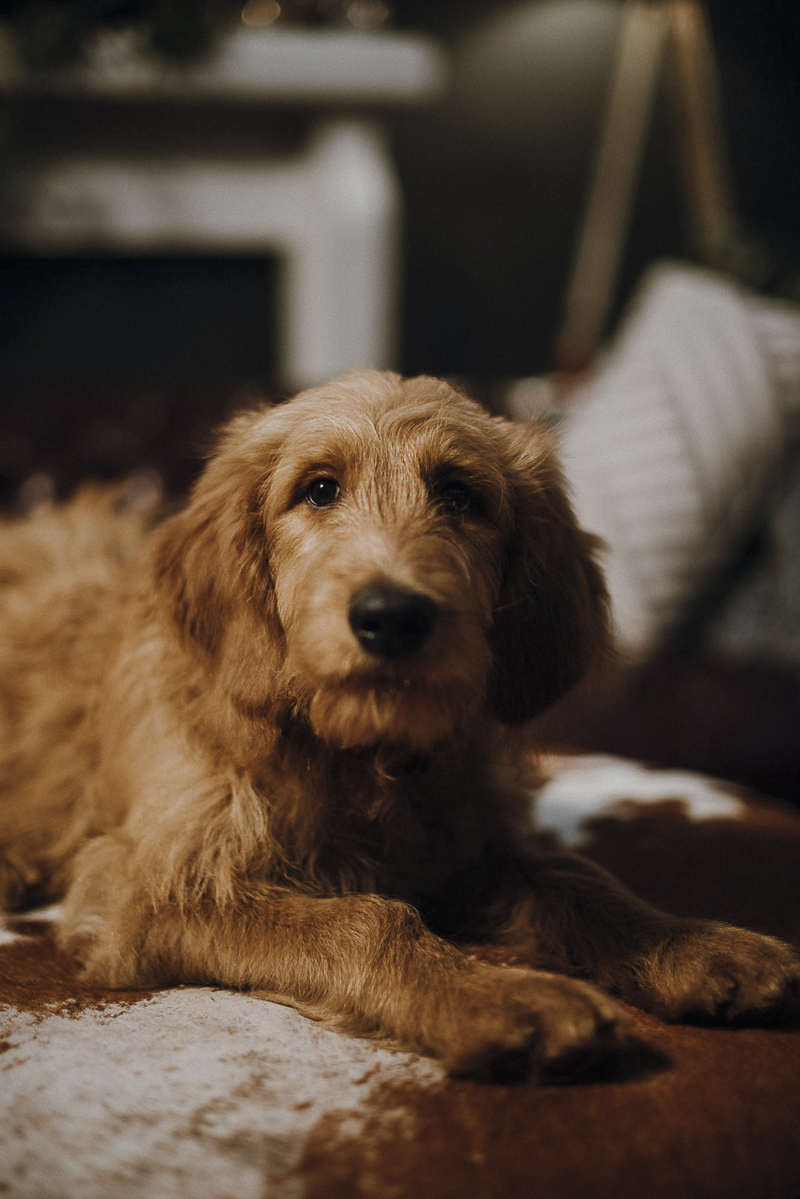 cute golden doodle puppy portraits | Suzuran Photography