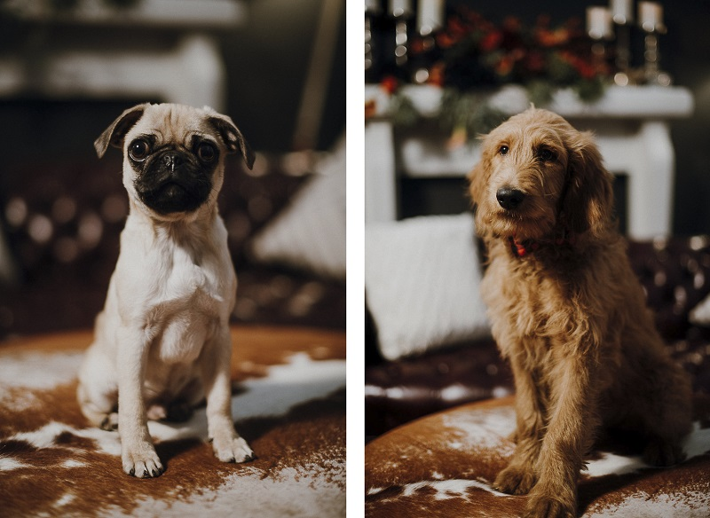 Pug puppy and Golden Doodle puppy, Sip & See party for puppies | ©Suzuran Photography