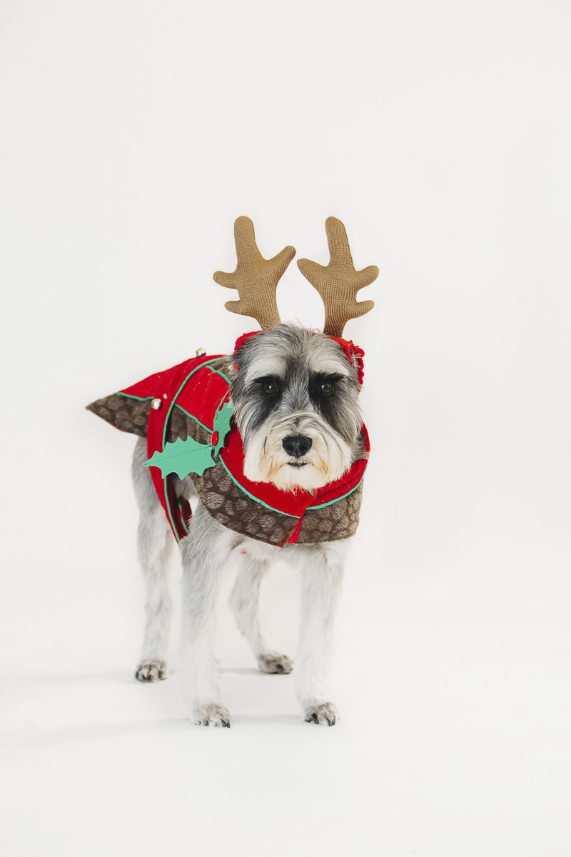 ©Alexa Nahas Photography-studio dog photos, Schnauzer in reindeer costume