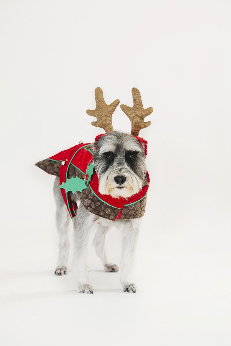 ©Alexa Nahas Photography-studio dog photos, Schnauzer in reindeer costume