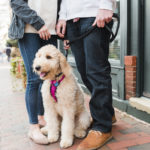 Engaging Tails:  Zoe the Golden Doodle in Annapolis