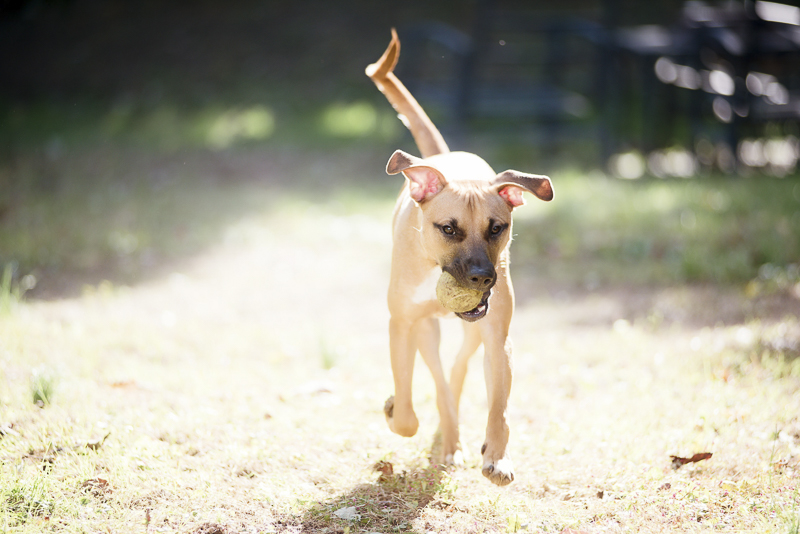 older puppy running with ball in his mouth, outdoor pet portraits, ©Delaney Dobson Photography