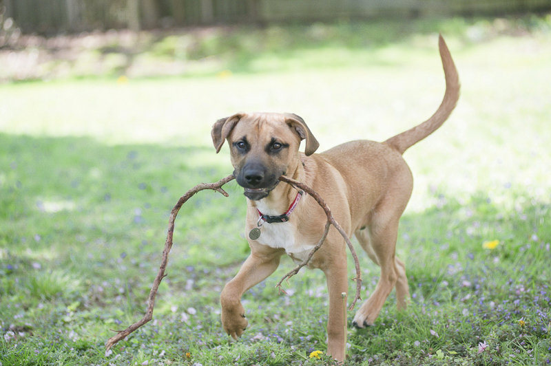 big puppy carrying stick around the yard, ©Delaney Dobson Photography | Lifestyle Dog Photoshoot