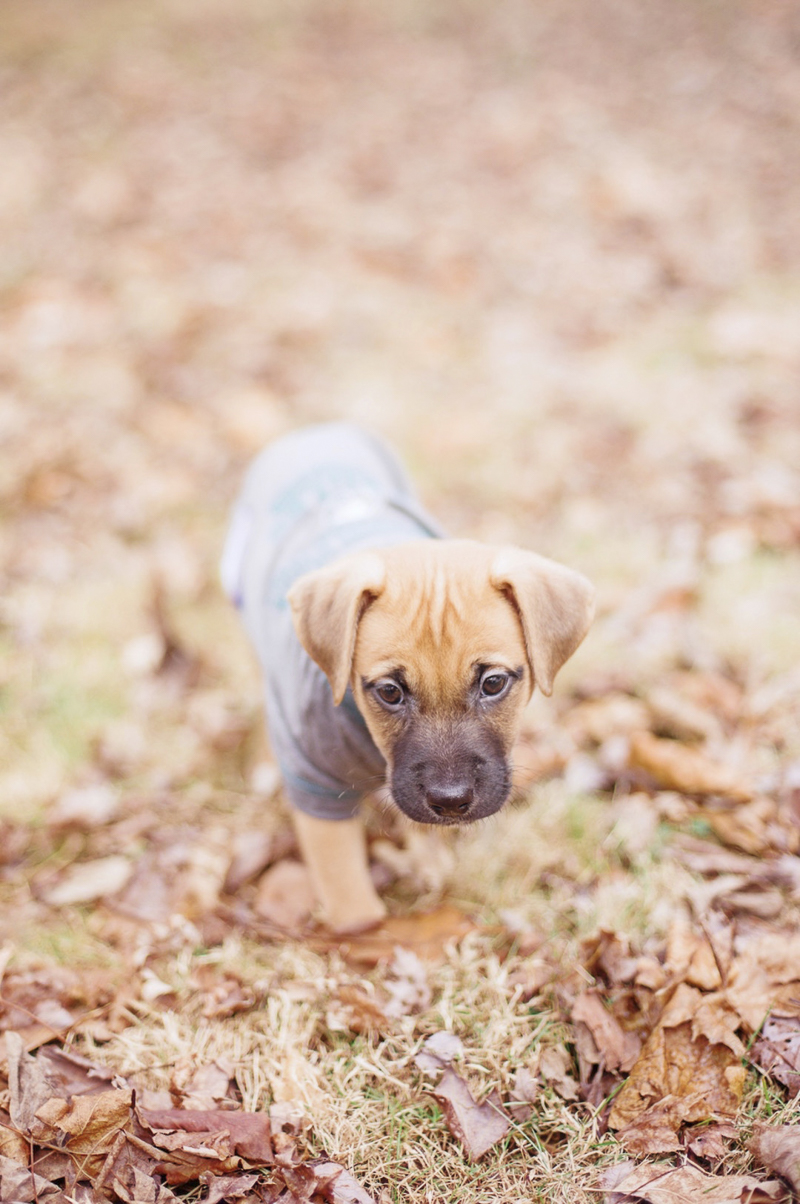 tiny mixed breed puppy walking through leaves, ©Delaney Dobson Photography | Philadelphia Lifestyle Dog Photography