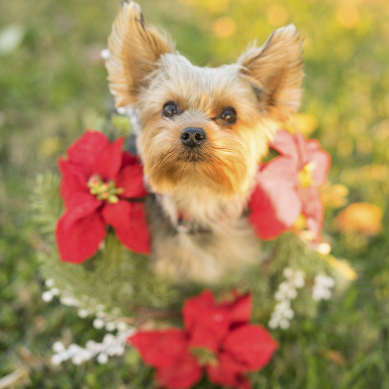 Christmas card ideas, Yorkie in a wreath, ©Imagery by Erin