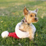 Happy Tails:  Ainsley the Yorkshire Terrier