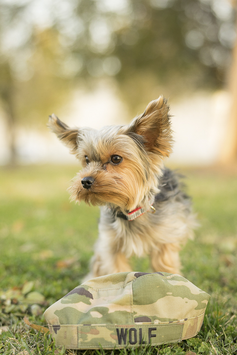 ©Imagery by Erin lifestyle dog photography, Yorkshire Terrier and National Guard hat, creative dog photography