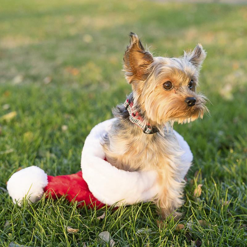 Yorkshire Terrier in Santa hat