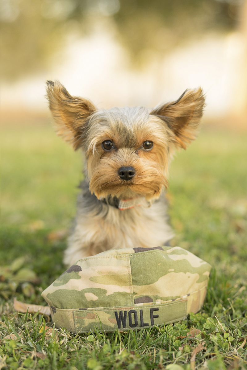 Yorkshire Terrier with military cover, ©Imagery by Erin lifestyle dog photography
