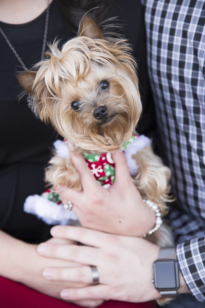 adorable Yorkie, holiday photos with a dog