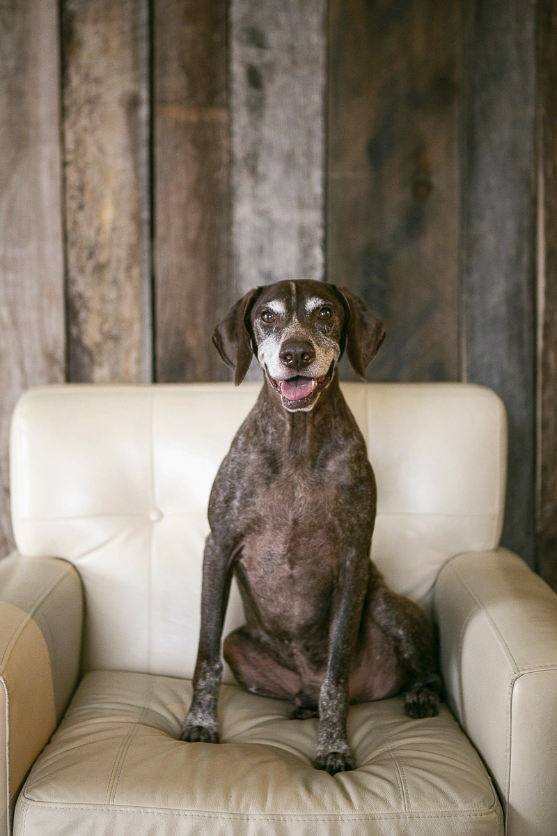 ©Mandy Whitley Photography | Nashville studio pet photography, German Shorthaired Pointer, senior dog, dogs on furniture