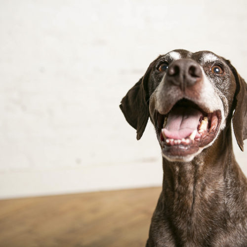 Happy Tails:  Faulkner the German Shorthaired Pointer