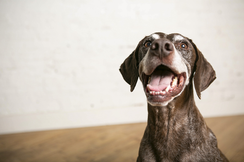 senior German Shorthaired German Pointer, studio pet photography, Nashville, TN