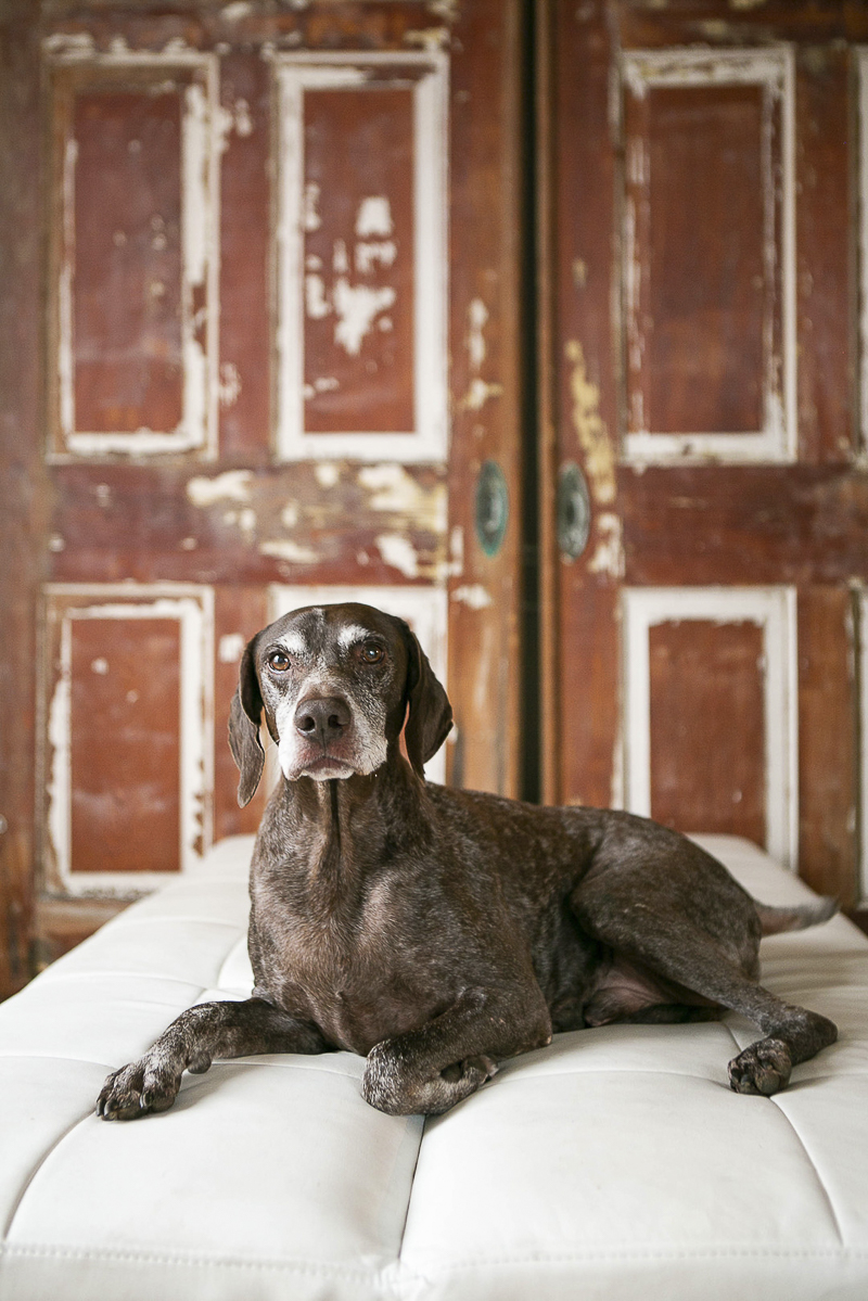 German Shorthaired Pointer, barn doors in the background, ©Mandy Whitley Photography | Nashville studio pet photography, German Shorthaired Pointer
