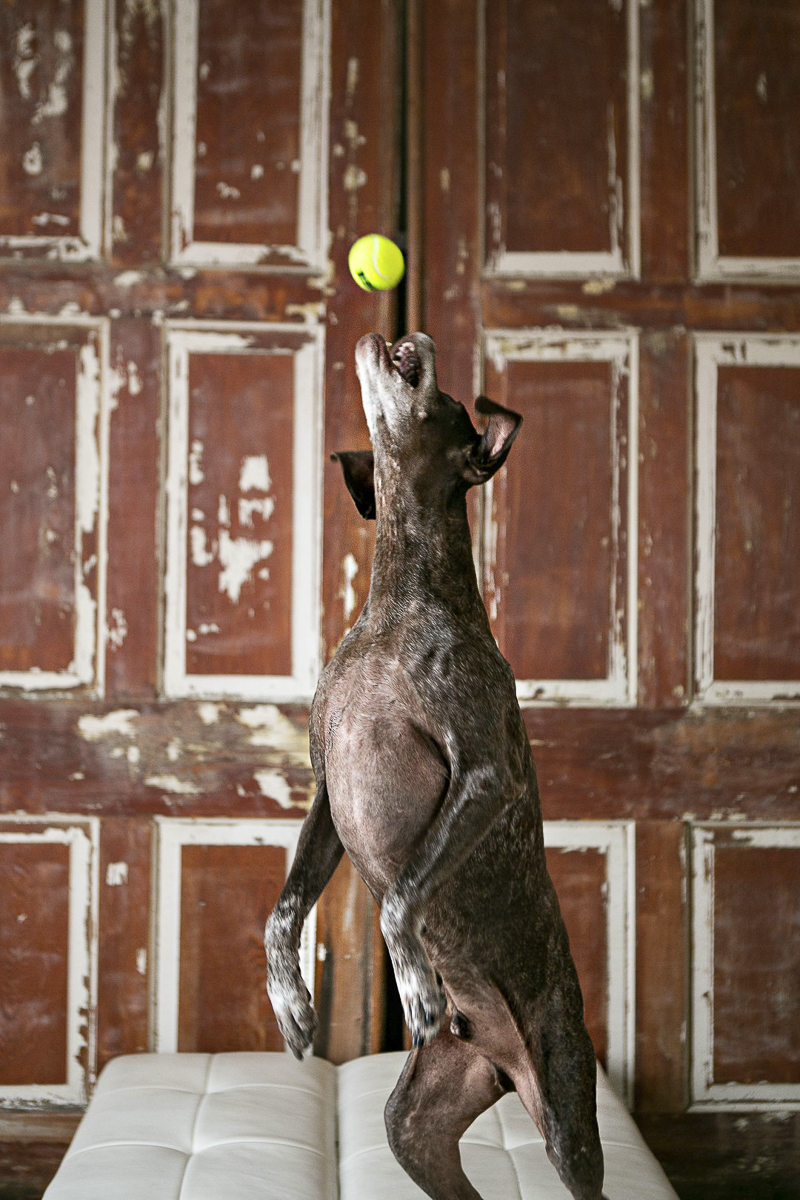 dog catching tennis ball, ©Mandy Whitley Photography | Nashville studio pet photography, German Shorthaired Pointer