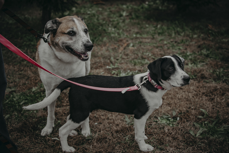 older dog and puppy on leashes, dog photo shoot