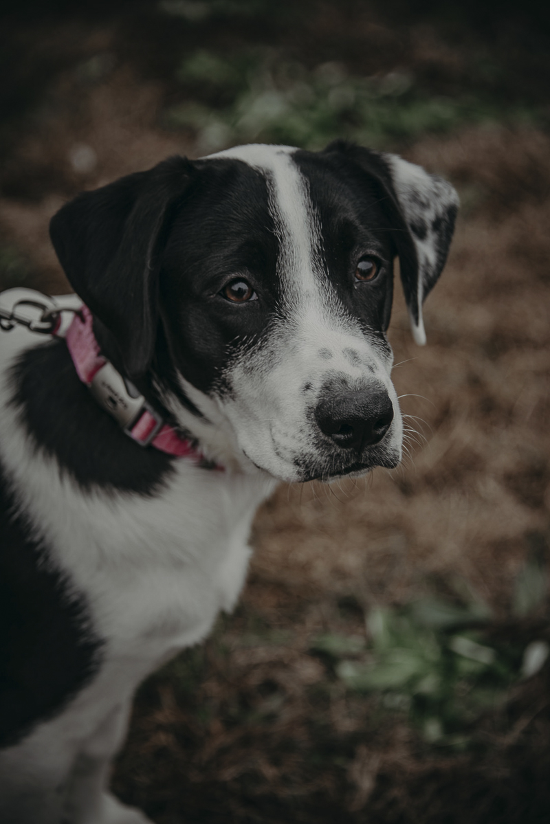 ©Nathalia Frykman- lifestyle dog photoshoot, Border Collie/Lab mix puppy,