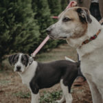 Happy Tails: Cooper & Sadie At A Christmas Tree Farm
