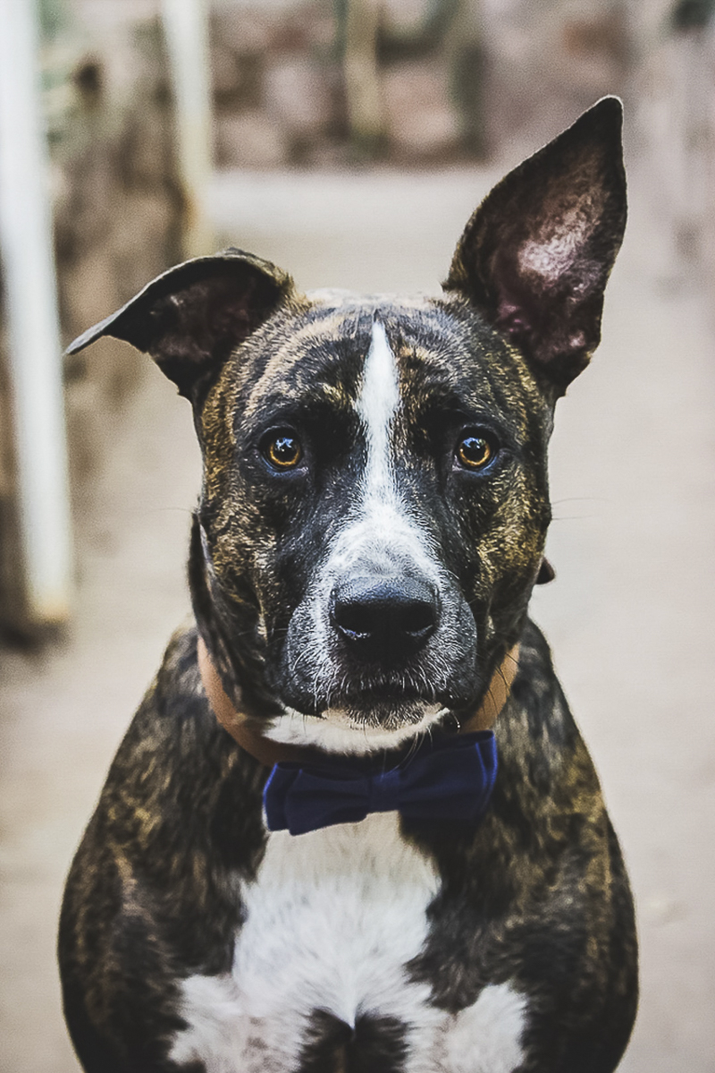©Poppyseed Photography | lifestyle dog photography, handsome rescue dog wearing bow tie, one ear up