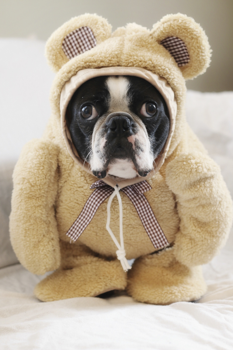 Yoda Bear, Boston Terrier wearing a Teddy Bear costume, funny dog photos, ©A Dog Walks Into A Bar