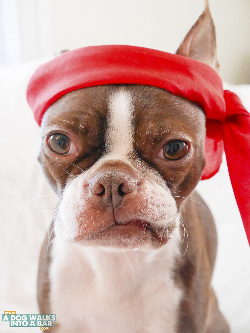 senior Boston Terrier wearing red headband, ©A Dog Walks Into A Bar
