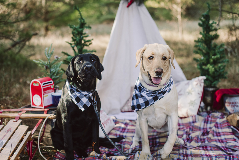 Retrievers wearing gingham bandannas holiday photos with dogs ideas, ©Delirament Designs
