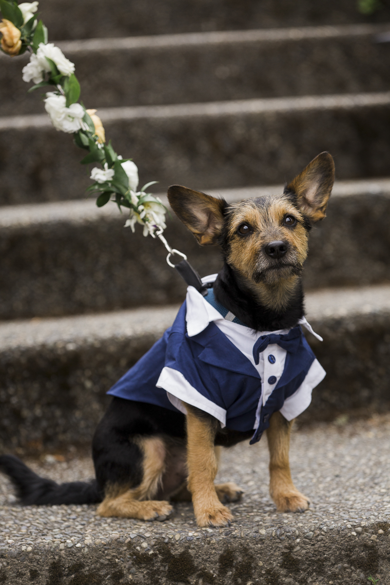 Schnauzer mix wearing tuxedo, dog ring bearer, wedding dog, ©Stephanie Cristalli Photography
