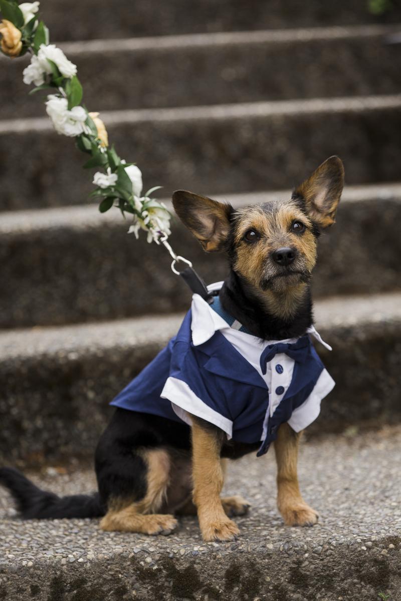 Schnauzer mix wearing tuxedo, dog ring bearer, wedding dog, ©Stephanie Cristalli Photography