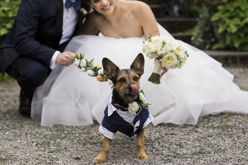 silky terrier-Schnauzer mix wearing doggie tuxedo, bride and groom | ©Stephanie Cristalli Photography