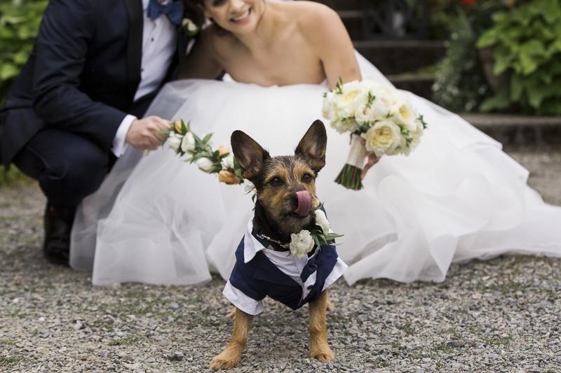 silky terrier-Schnauzer mix wearing doggie tuxedo, bride and groom | ©Stephanie Cristalli Photography