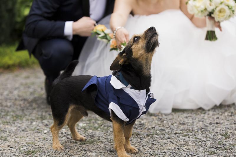 dapper dog wearing blue tuxedo, wedding dog, ©Stephanie Cristalli Photography