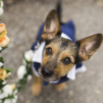 Best Wedding Dog:  Teddy the Silky Terrier-Schnauzer Mix