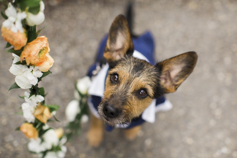 ©Stephanie Cristalli Photography | floral leash for wedding dog, Schnauzer mix wearing doggie tuxedo,