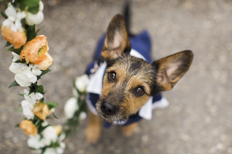 ©Stephanie Cristalli Photography | floral leash for wedding dog, Schnauzer mix wearing doggie tuxedo,