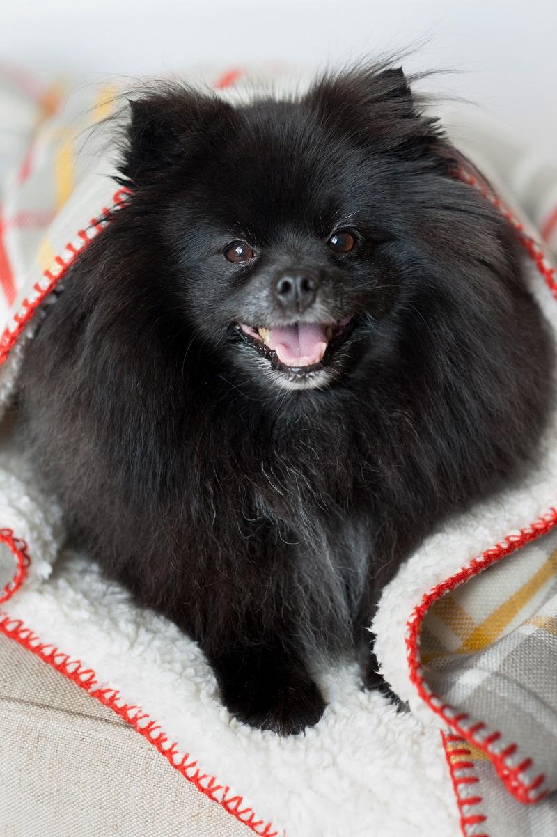 Black Pomeranian on blanket, Syracuse dog photographer, Alice G Patterson Photography
