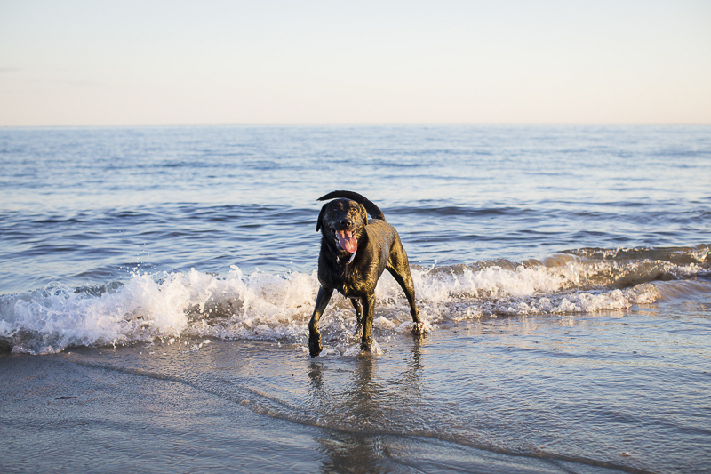 Trish Kemp Photography-Lifestyle Dog Photography, lab in the ocean, Westerly, Rhode Island