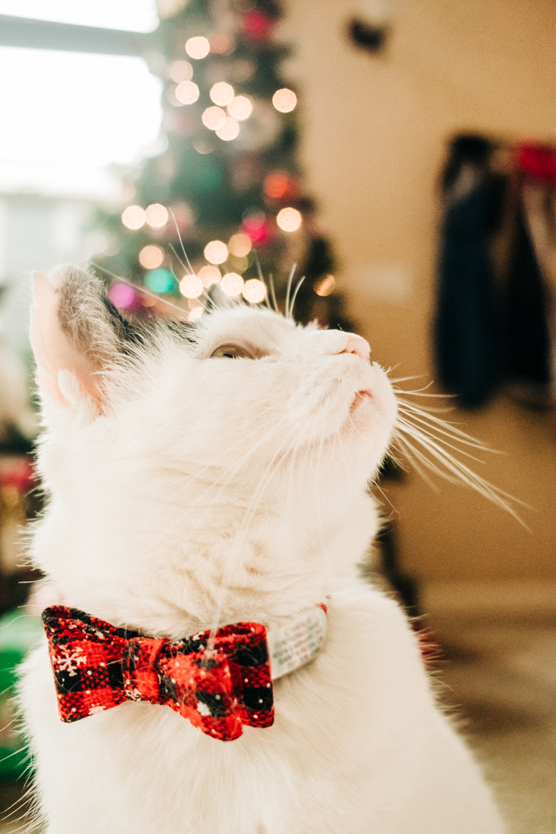 Christmas cat, former stray cat celebrates first Christmas in a home