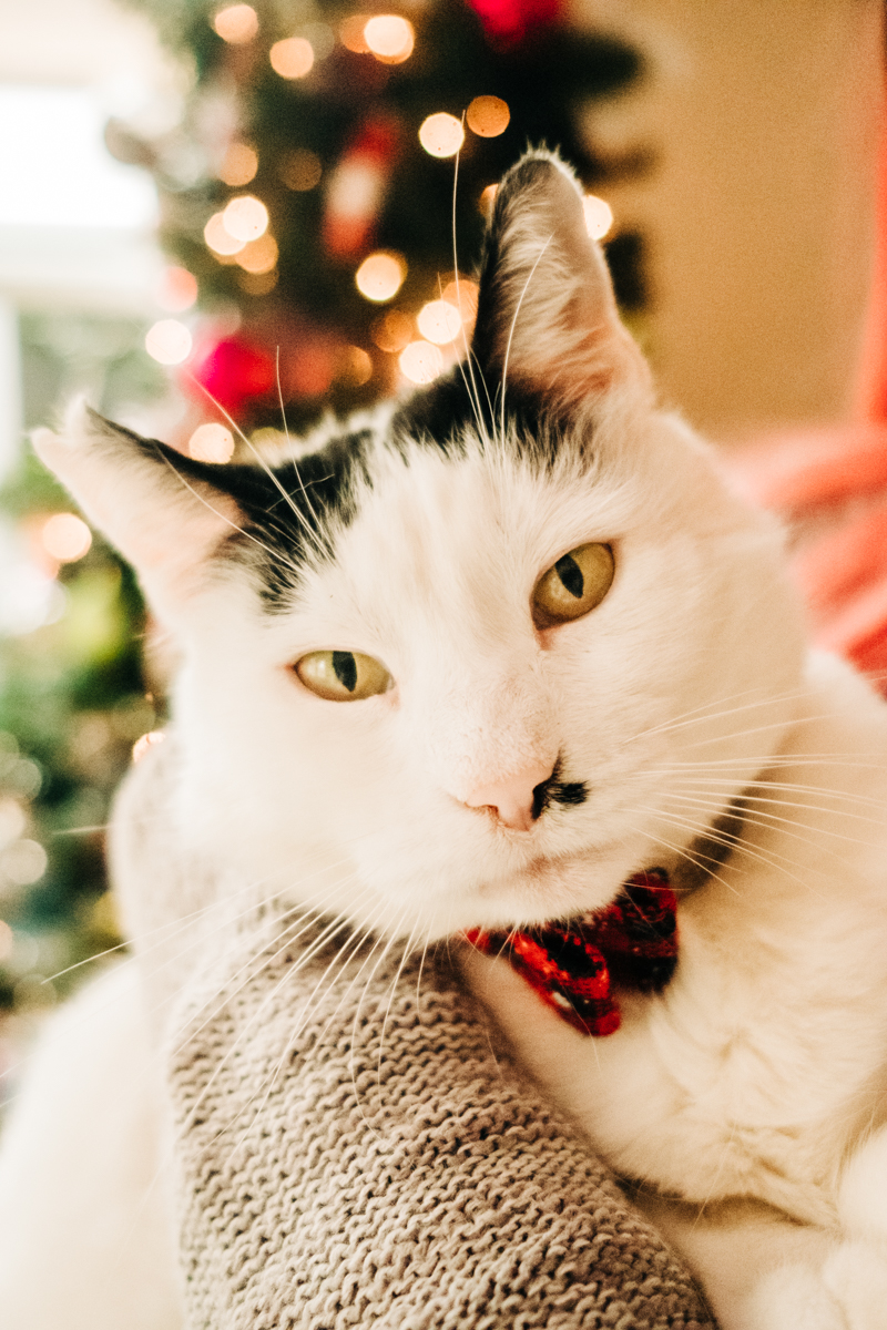 ©misterdebs photography | holiday photos with a cat, white and black cat wearing bow tie
