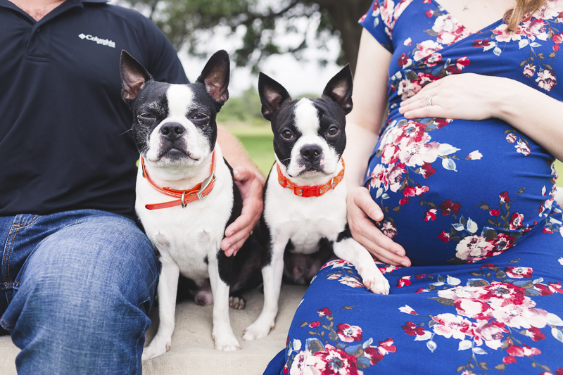 cute black and white Boston Terriers, lifestyle maternity session with dogs