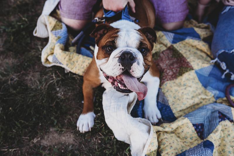 cute brown and white English Bulldog on blanket, ©Irish Eyes Photography | lifestyle dog photography