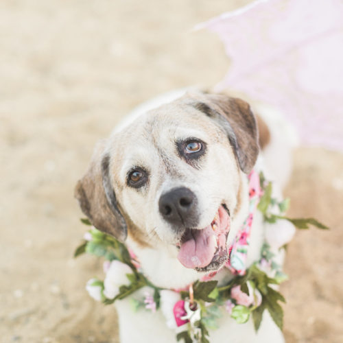 Happy Tails:  Daytona the Beagle-Pointer Mix